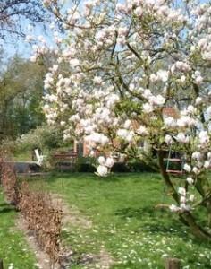 Magnolia uit onze tuin in Makkinga